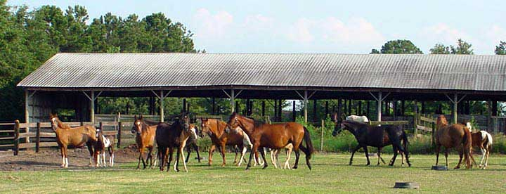 Paso Fino and Spanish Jennet broodmare herd